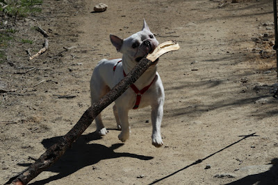 Ettore, the French Bulldog (Bulldog francese) with a stick.