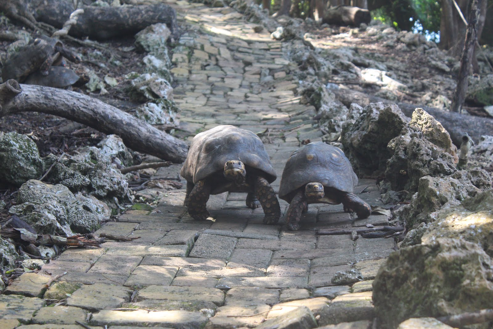 Couple of Tortoises at Barbados Wildlife Reserve