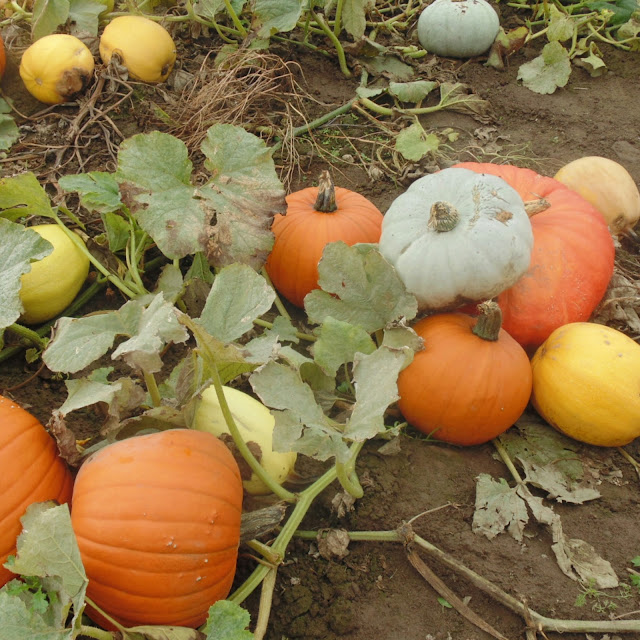 Pumpkin patch at farmer copleys