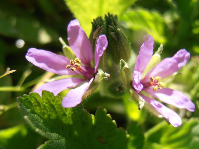 Flores de la almizclera (Erodium moschatum)