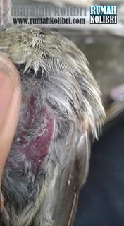 ciri-ciri kolibri nyilet