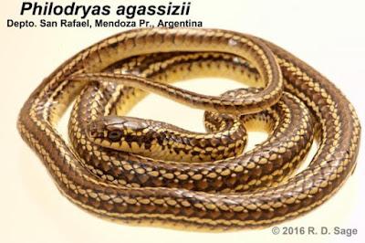 Philodryas agassizii