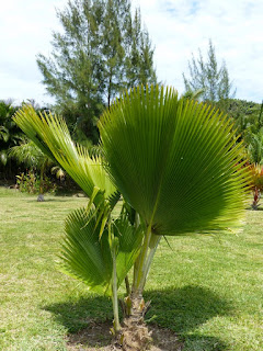 Palmier cuillère - Licuala grandis