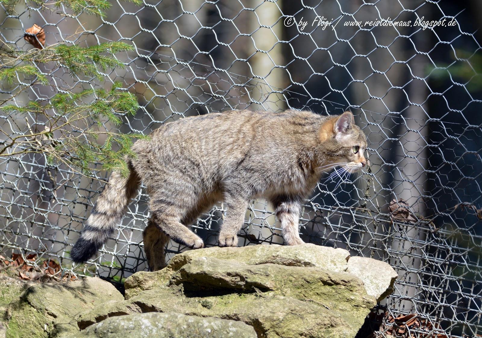 Nationalpark Bayerischer Wald Tierfreigelände bei Neuschönau Wildkatze
