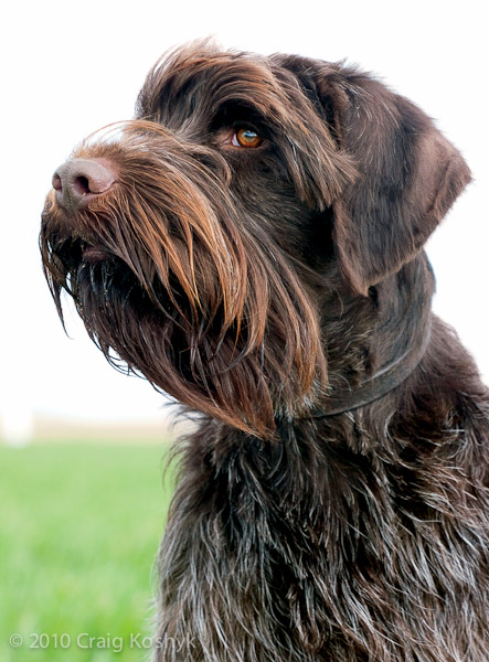 Pointing Dog Blog: Breed of the Week: The Wirehaired ...