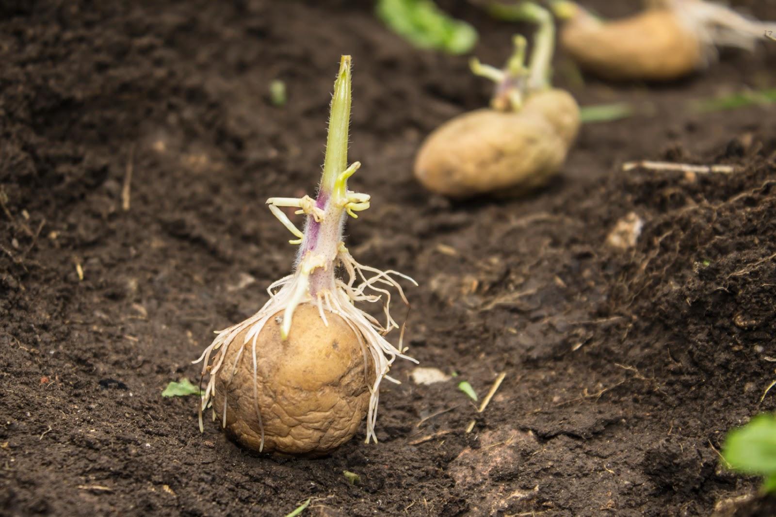 Paris Farmers Union How To Grow Seed Potatoes