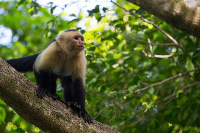 Mono carablanca en Tulemar