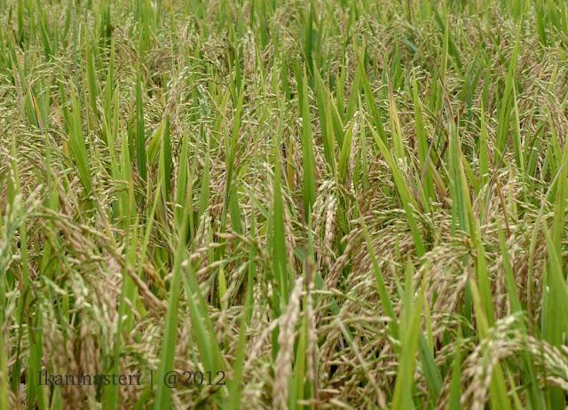 Hamparan padi di Sawah Nanggulan