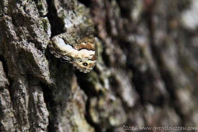 Silène (Brintesia circe ) se camoufle sur l'écorce d'un chêne à Fontainebleau (C) 2016 Greg Clouzeau
