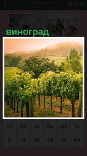 растет виноград на большой плантации среди холмов