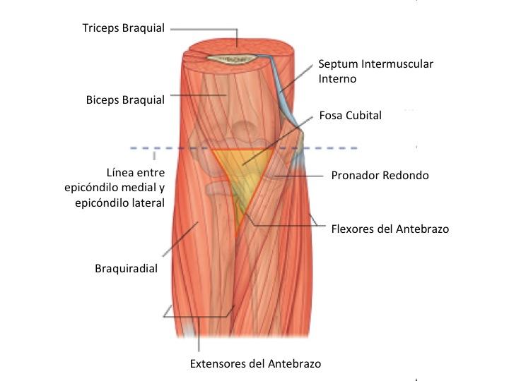 FCM-UNAH Anatomía Macroscópica: Fosa Cubital