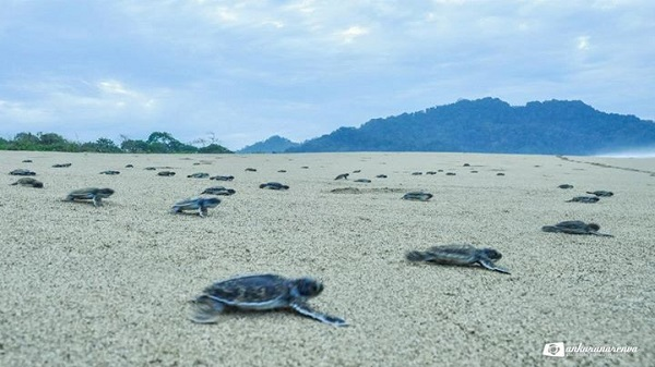 penyu di pantai temajuk perbatasan indonesia