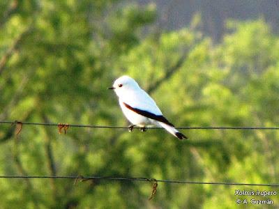 aves de Argentina Monjita blanca Xolmis irupero