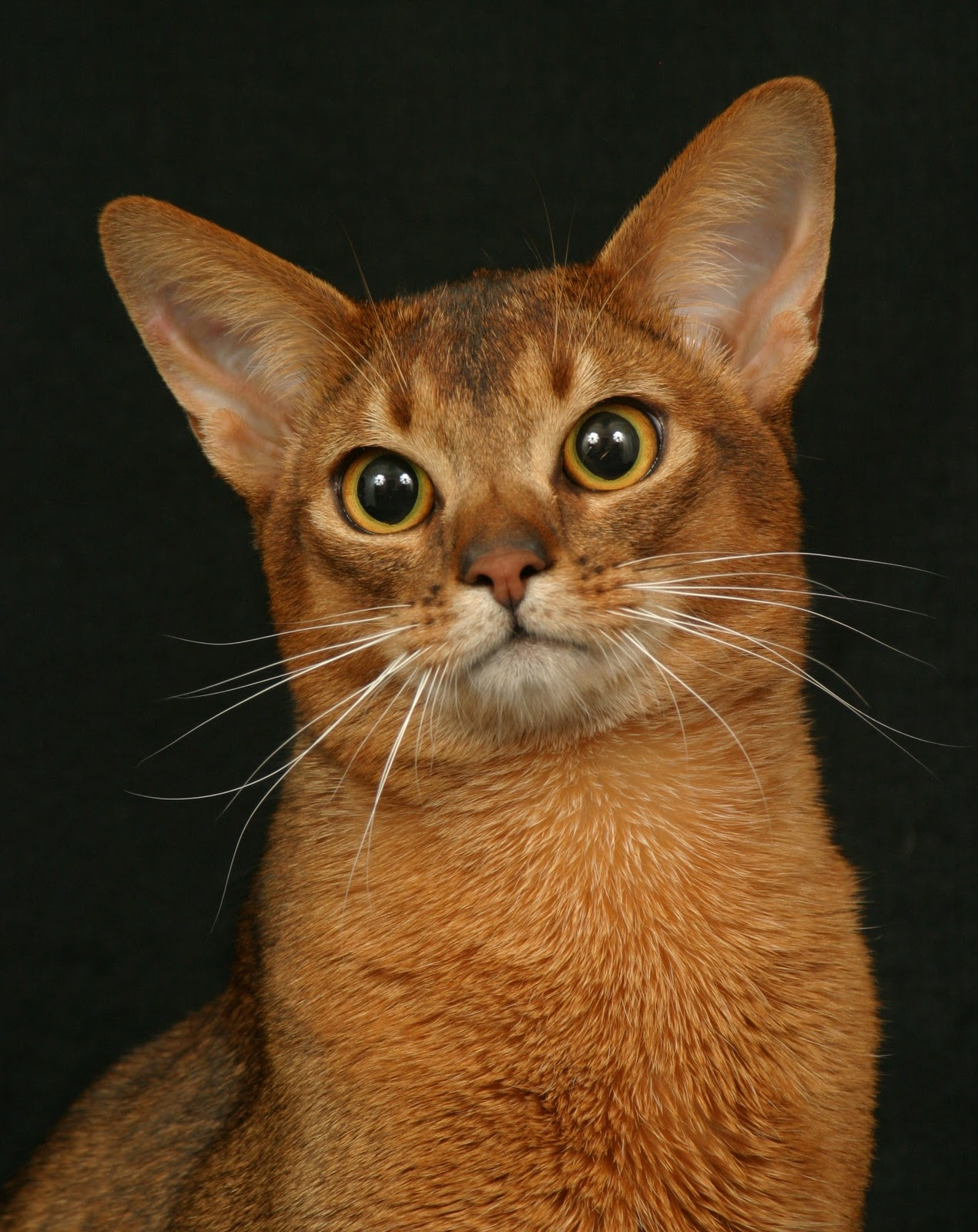 funny Abyssinian Cat Breed ,pictures Fashion signs and cartoons ...
