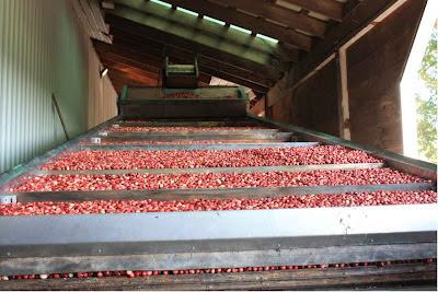 Hier werden die Cranberries getrocknet