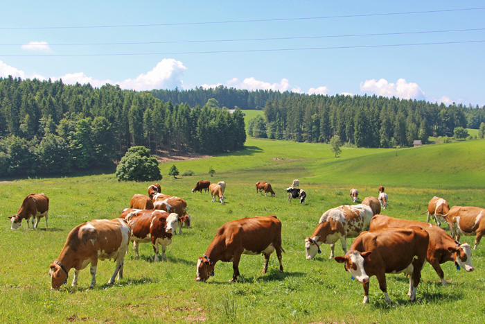 Kühe Plattenhof