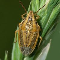 Yeşil başak bir üzerindeki kımıl böceği
