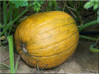 Pumpkin Fruit-Cucurbita spp.-Waluh