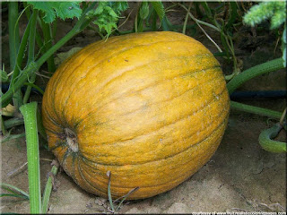 Pumpkin fruit pictures scientific name is Cucurbita spp.