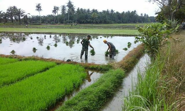 Sertu Izharsyah damping Kelompok Tani Sipirok Tanam Padi di Desa Desa Sumber Tani