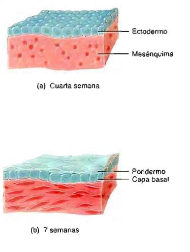 Sistema tegumentario piel ectodermo paridermo