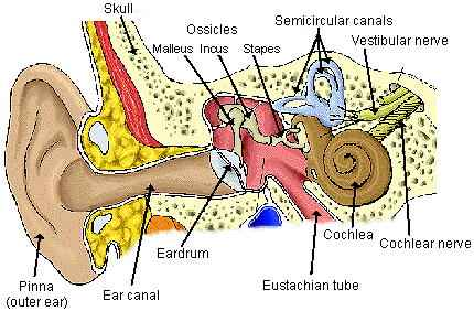 Human Ear Diagram with Label - coordstudenti