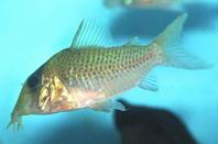 Jenis Ikan Corydoras spilurus
