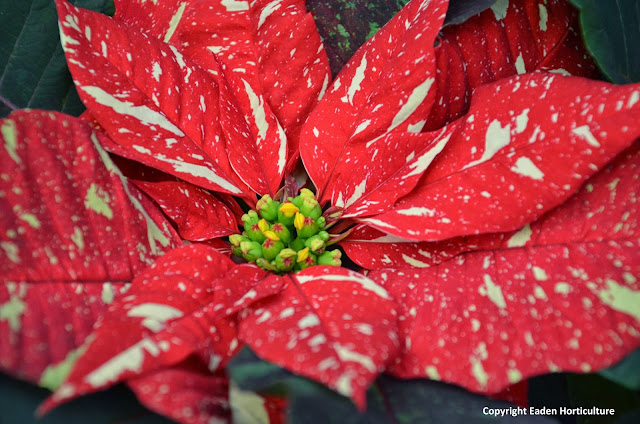 variegated poinsettia flower