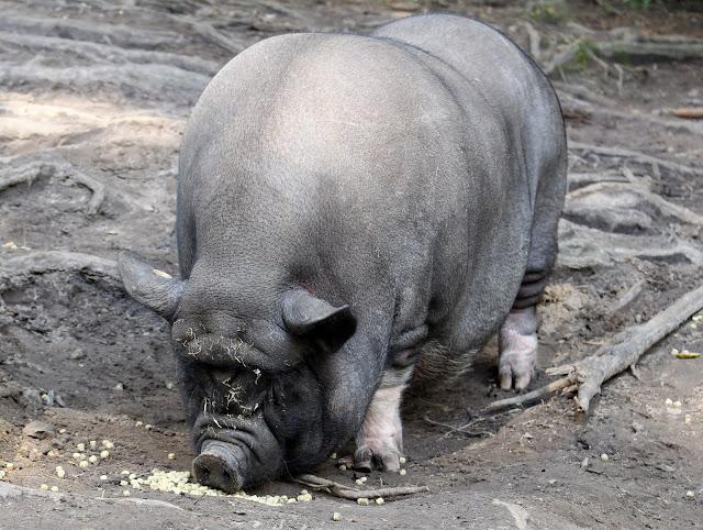 Wildpark Schwarze Berge Hängebauchschwein