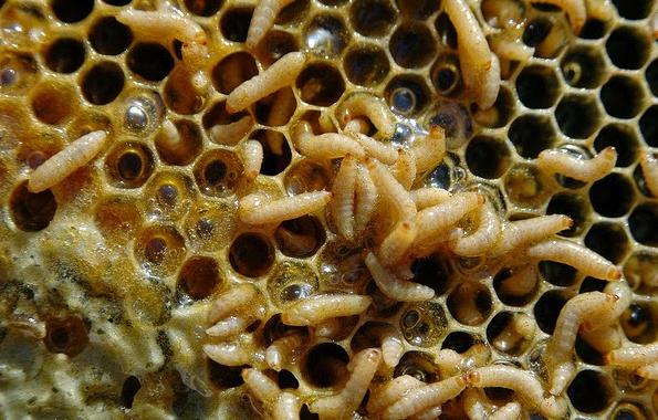 Εξαπλώνεται το σκαθάρι στην Ιταλία: Τσουχτερά πρόστιμα σε Ιταλούς μελισσοκόμους που δεν παραδίδουν τα μελίσσια τους στην πυρά....