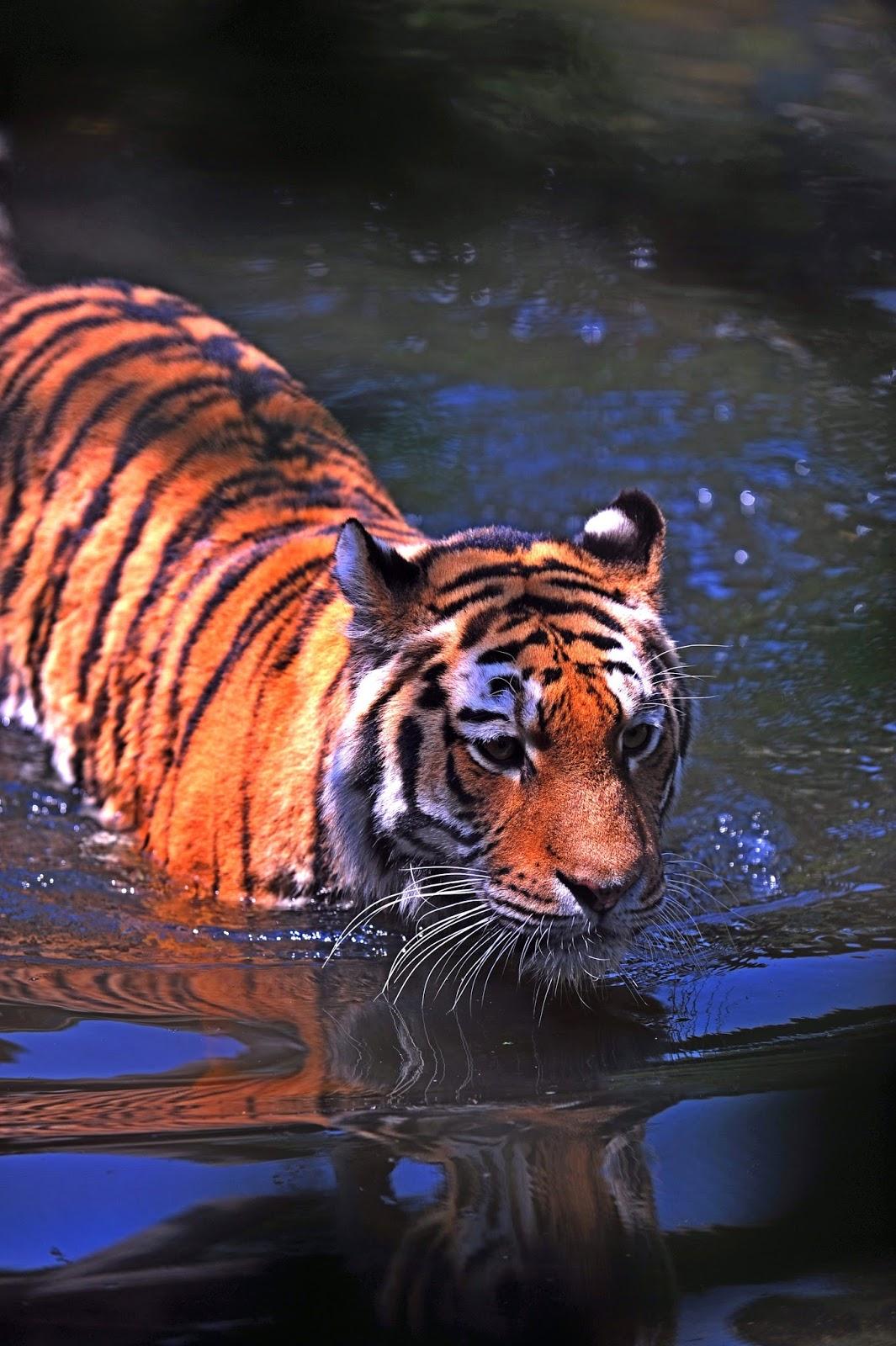 A tiger crossing a river.