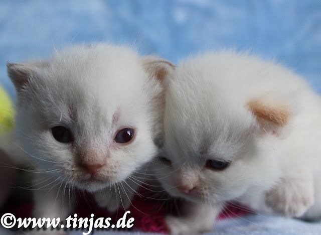 Scottish Fold und Highland Fold colourpoint kitten