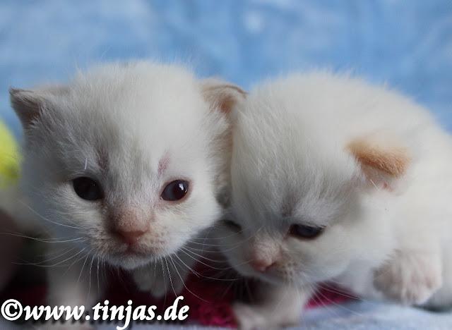 Scottish Fold und Highland Fold colourpoint kitten