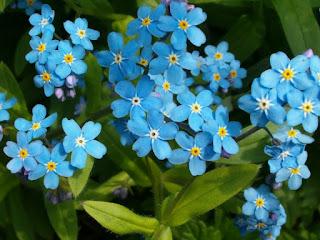 Цветок имени Валентина - незабудка