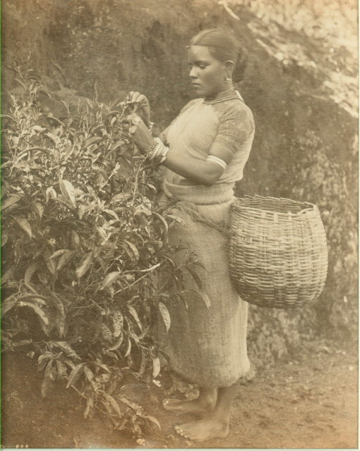 Tea Plucker Woman from Ceylon (Sri Lanka) - c1880