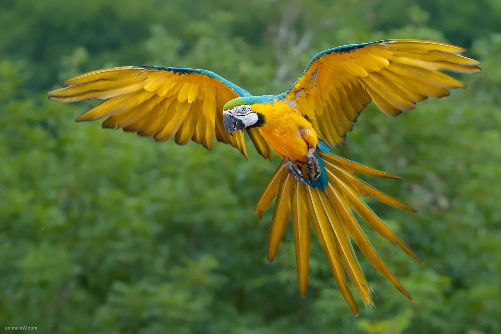 Pin on Blue-and-Yellow Macaw |Blue Macaw Parrot Flying