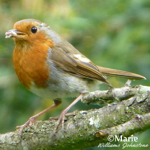 European robin bird with food and perched on tree branch