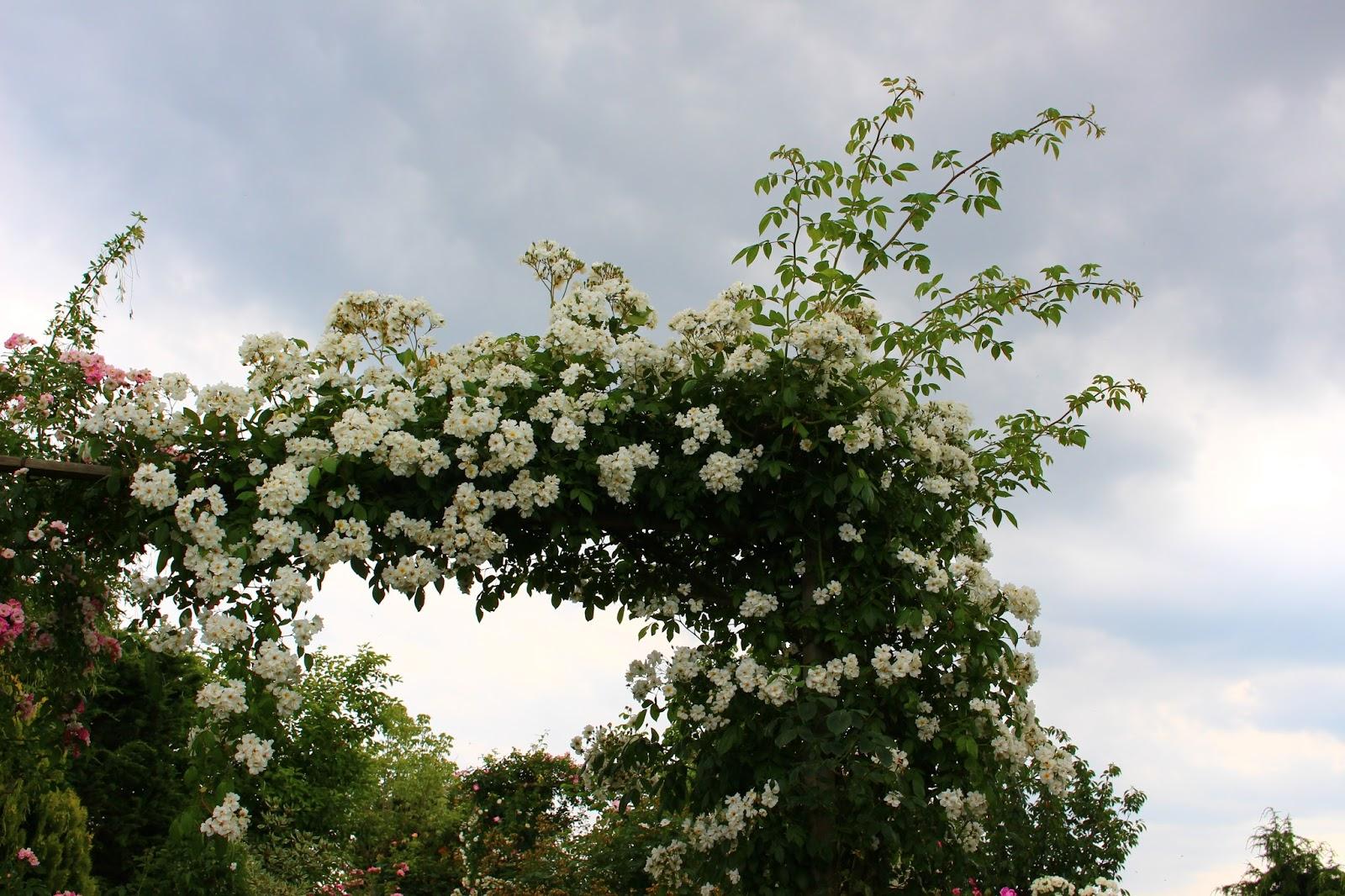 Roses du jardin ch neland taille des rosiers lianes - Taille rosier liane ...