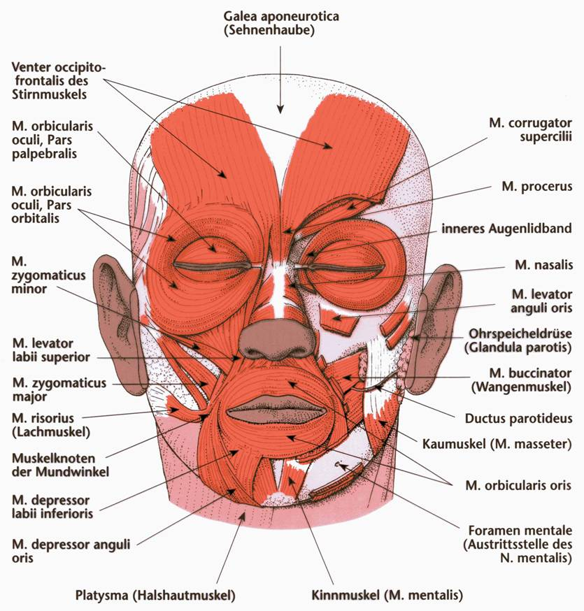 Scalp And Eyelid Muscles