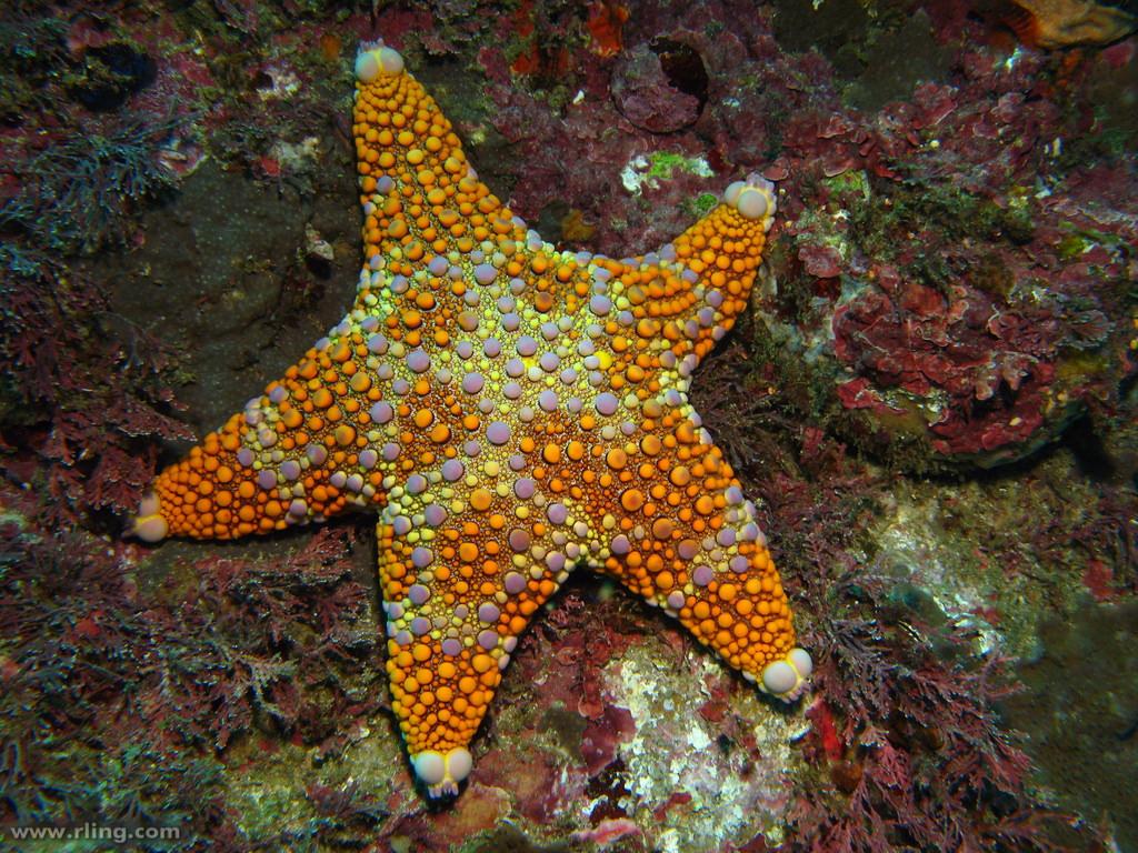 Real Monstrosities Firebrick Starfish