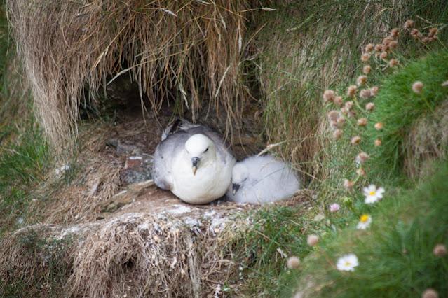 Duncansbay head-Uccelli
