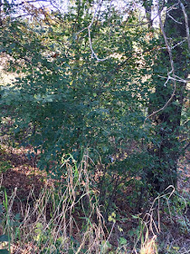 buckthorn under oak trees