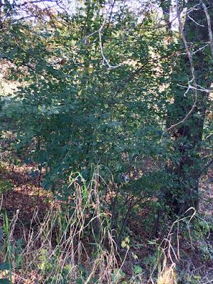 buckthorn under oak trees