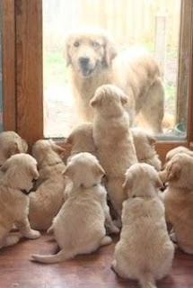 golden retriever puppies, golden retrievers looking at door, golden puppies, cutest puppies