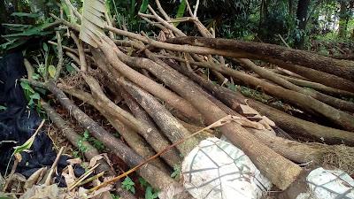 Jual Pohon Trembesi,Jual Pohon Pelindung Pohon Trembesi,Jual Bibit Pohon Trembesi