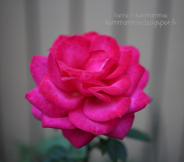 ruusu vaaleanpunainen nofilter