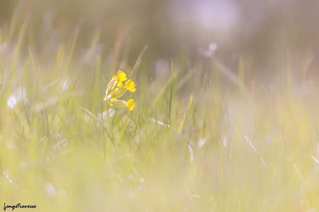 flore des Alpes, nature, flowers, fleurs, fleur des alpes, primevère officinale