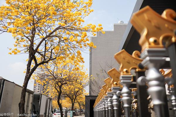 台中太平太順路黃花風鈴木盛開,綿延1公里長黃金大道很好拍