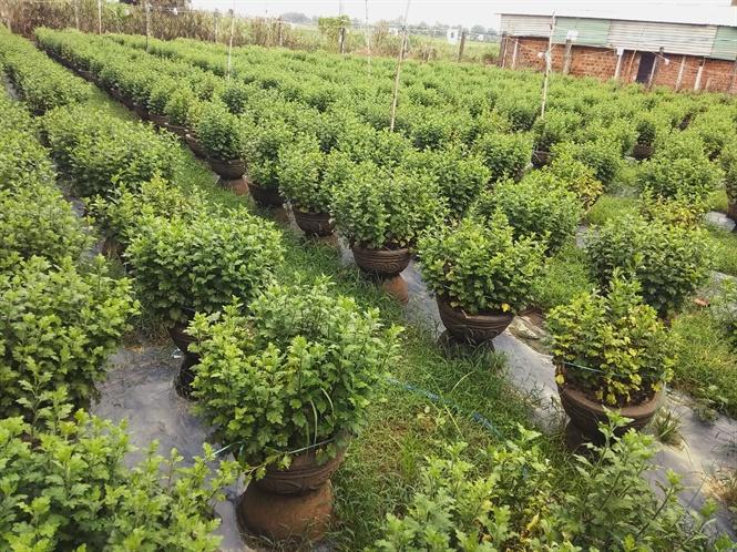 Các chậu hoa cúc ở Quảng Ngãi bị ngập nước bắt đầu thối rễ, vàng lá