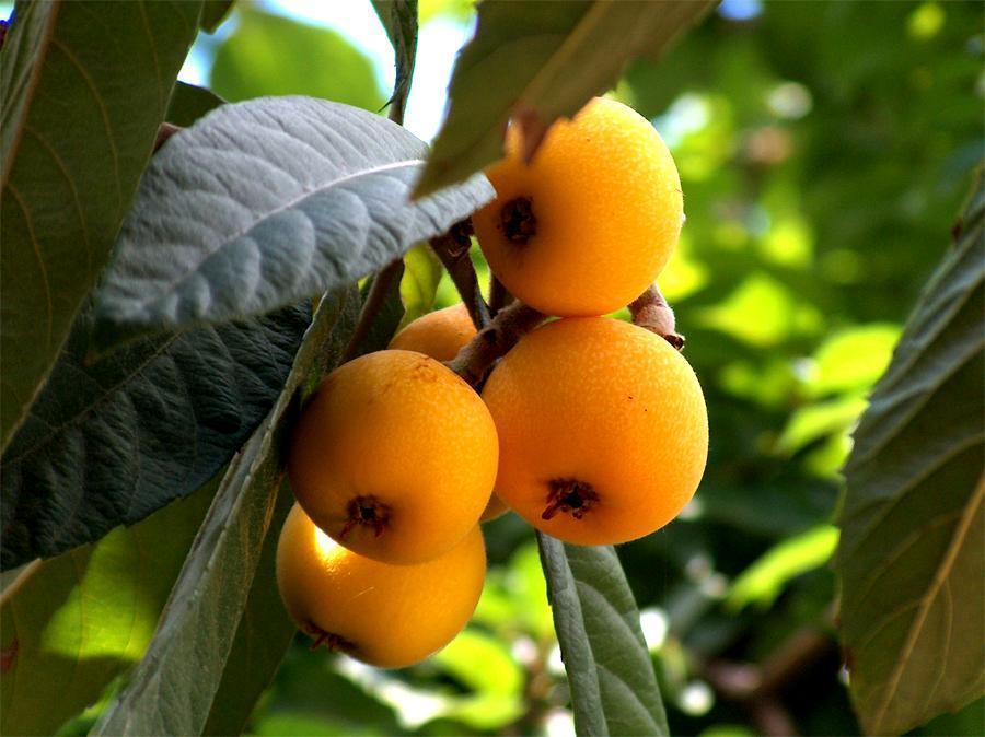 como tomar las hojas de nispero para la diabetes